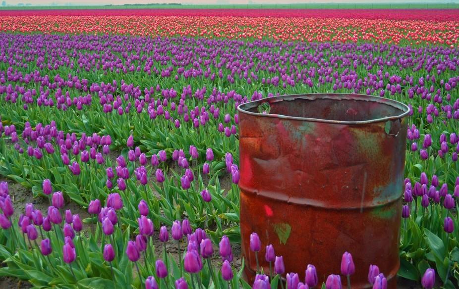 Colorful tulip field near LaConner, WA.