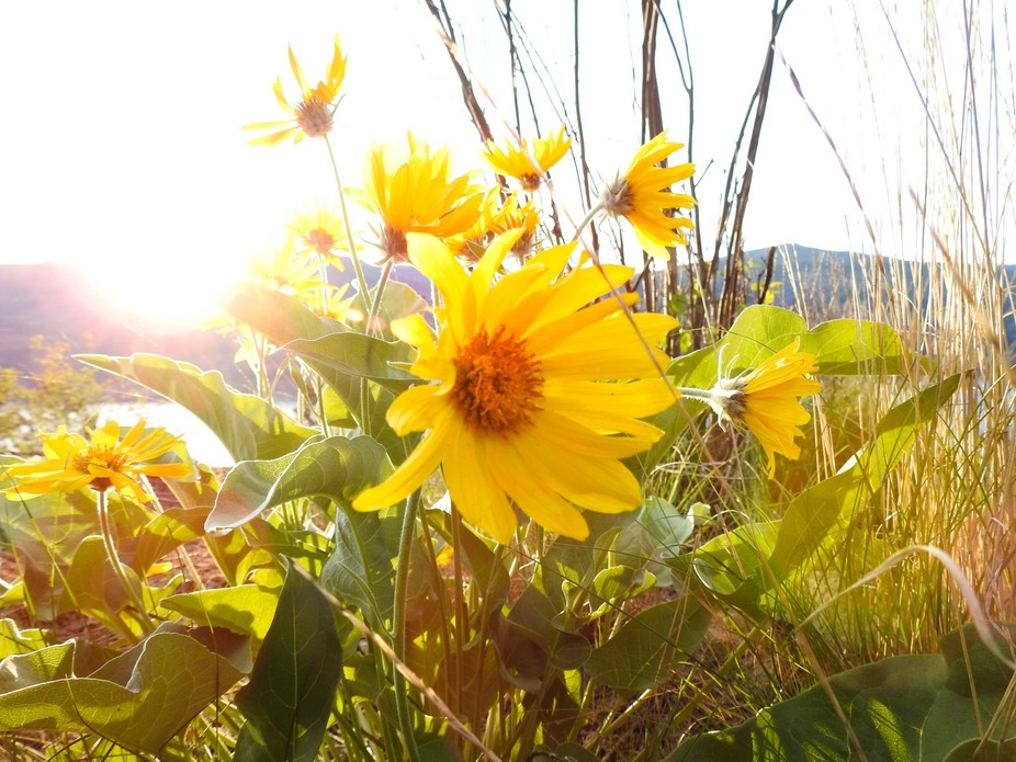 The sun was setting on Knox Mountain in Kelowna, and setting these flowers ablaze with a cheery g...