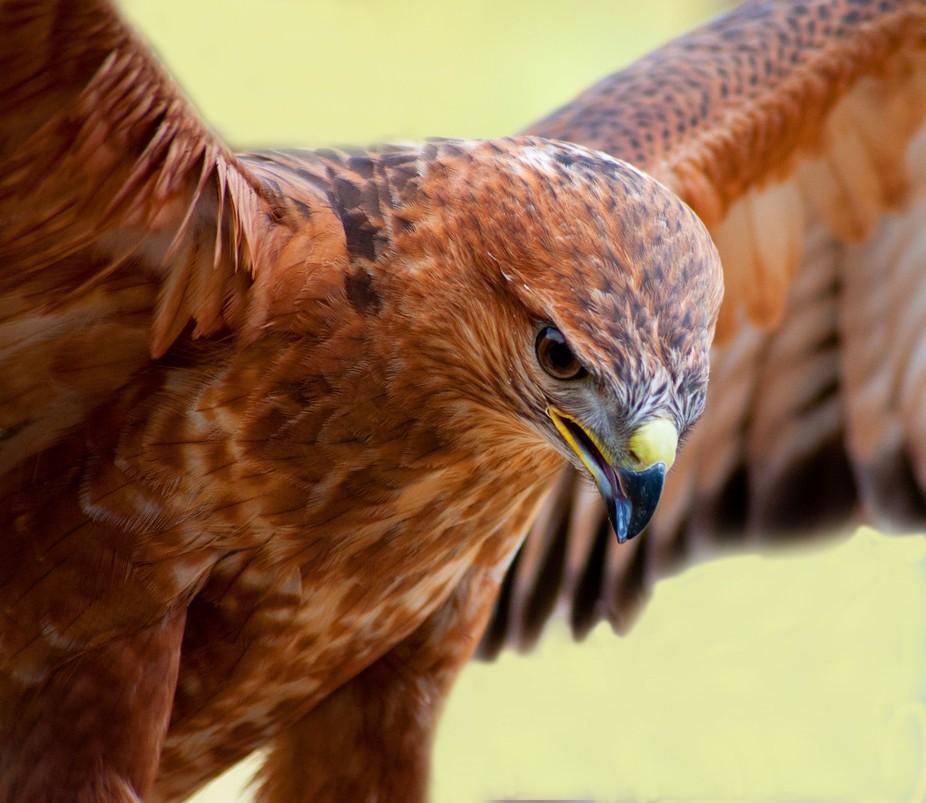 Tawny Hawk landing