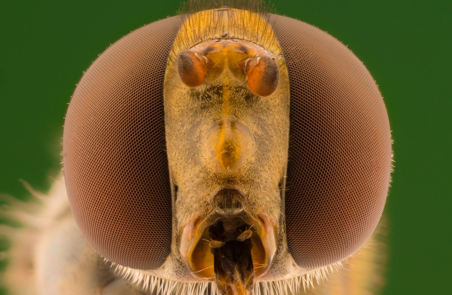 Hover fly eye