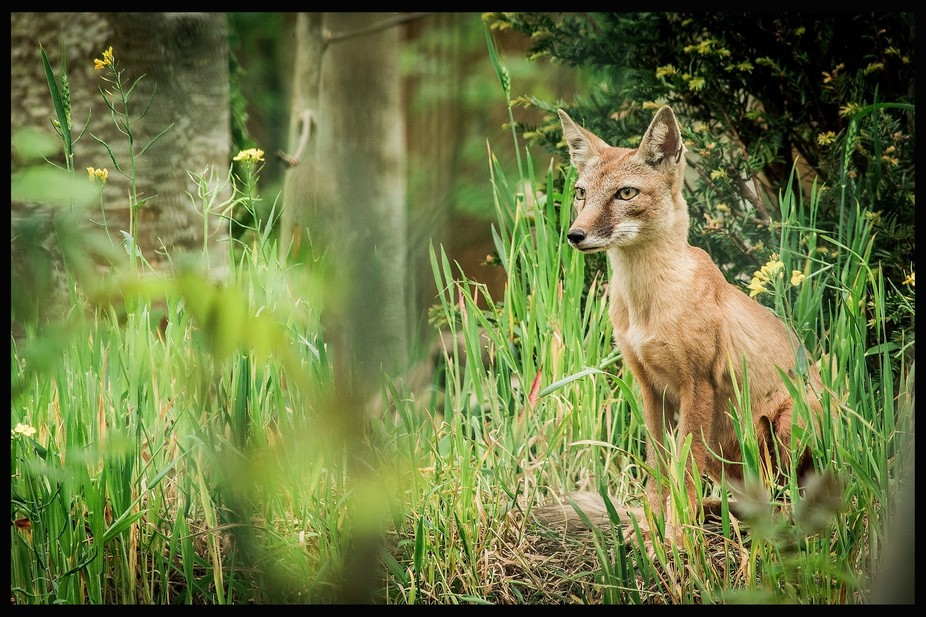 Little fox looking for its cubs in Tayto park dublin.
