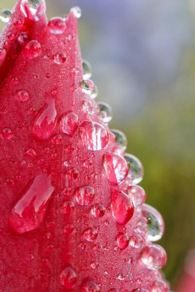 Red dew