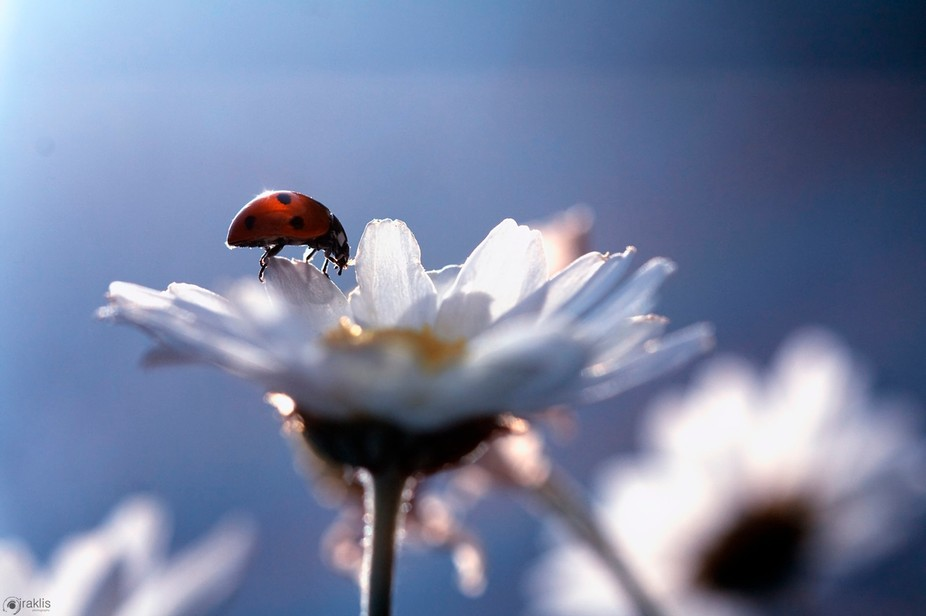Ladybug chilling on a daisy