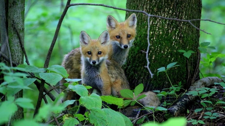 Newborn Fox Pups