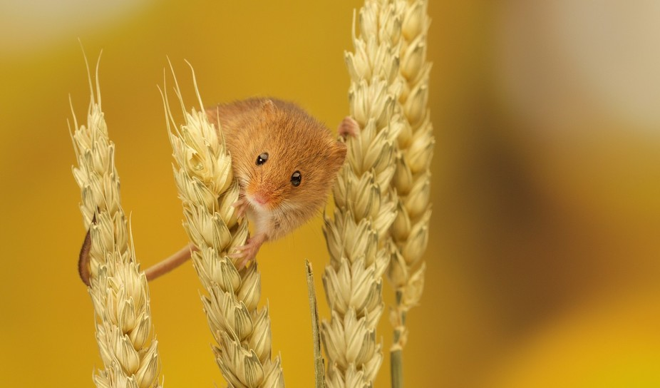 a tiny little harvest mouse