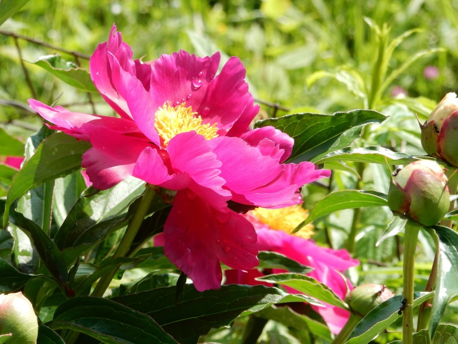 mom\'s peony blooming in the Vermont sun