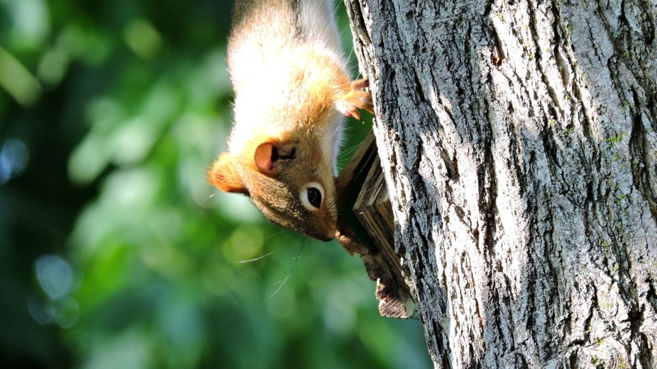 A tiny red squirrel chews on the remains of a small birdhouse we lost in a storm a few years ago.