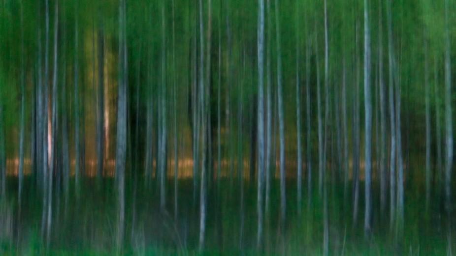 summer night birches in FinlND