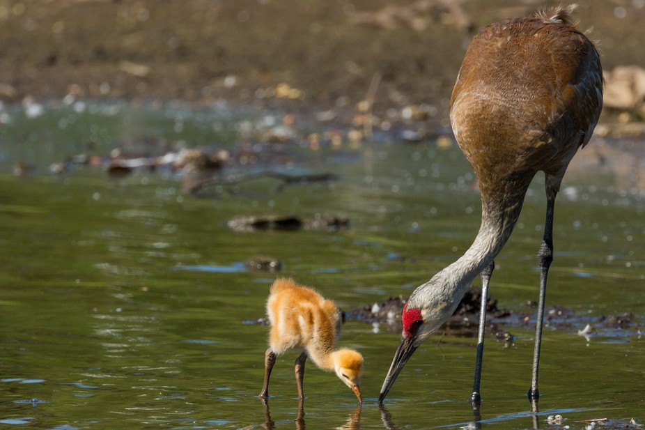 Sandhill crane with chick that is only a few days old.