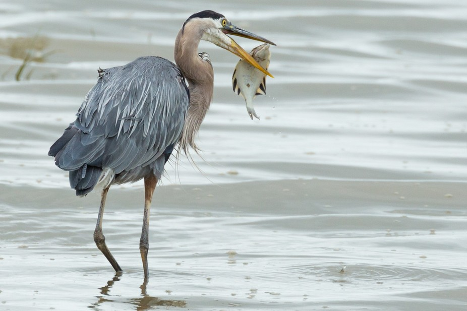 Great blue heron eating a starry flounder.