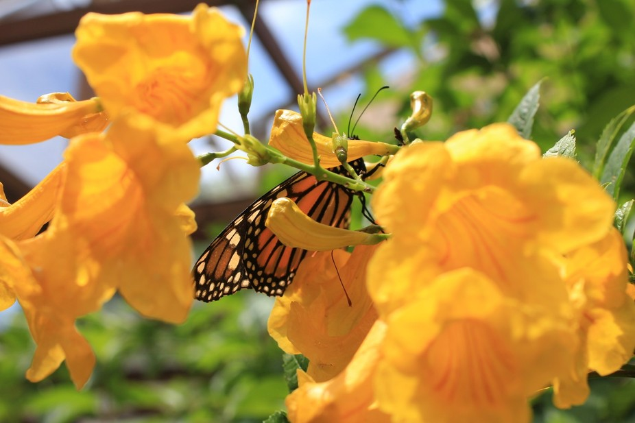 Visiting a butterfly exhibit at the Albuquerque Botanical Gardens and found a butterfly.