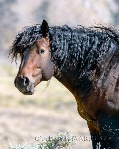 Curly Stallion