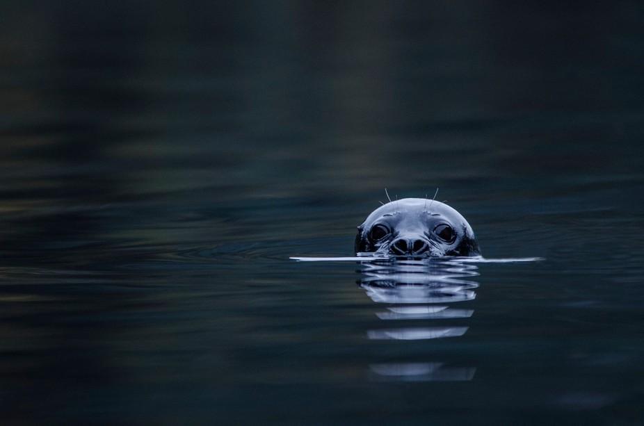 "This is a norwegian seal-type type of animal called ""Kobbe"" in norwegian."