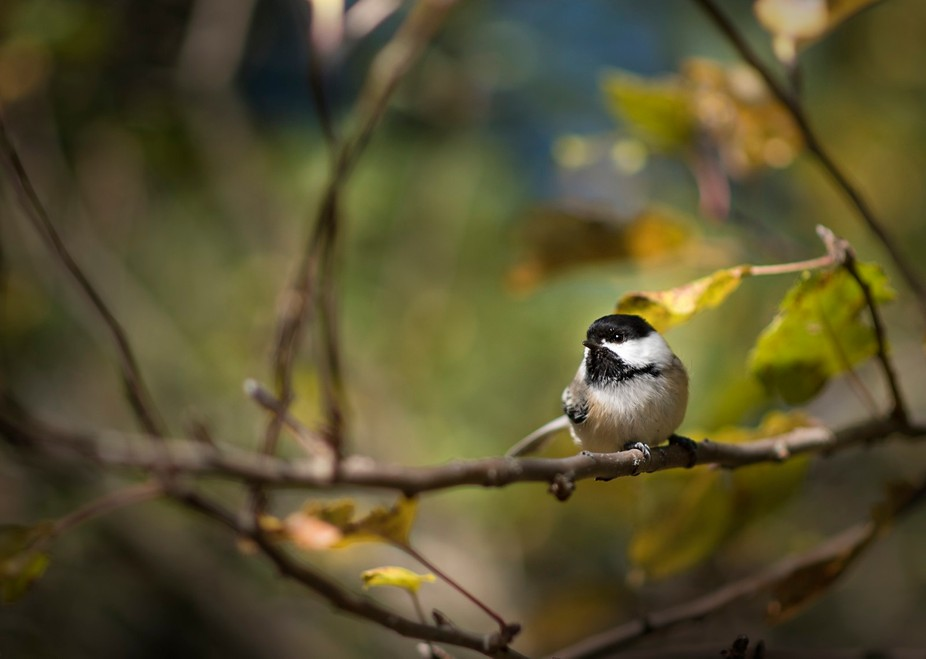 Friendly Chickadees waiting in the wings.