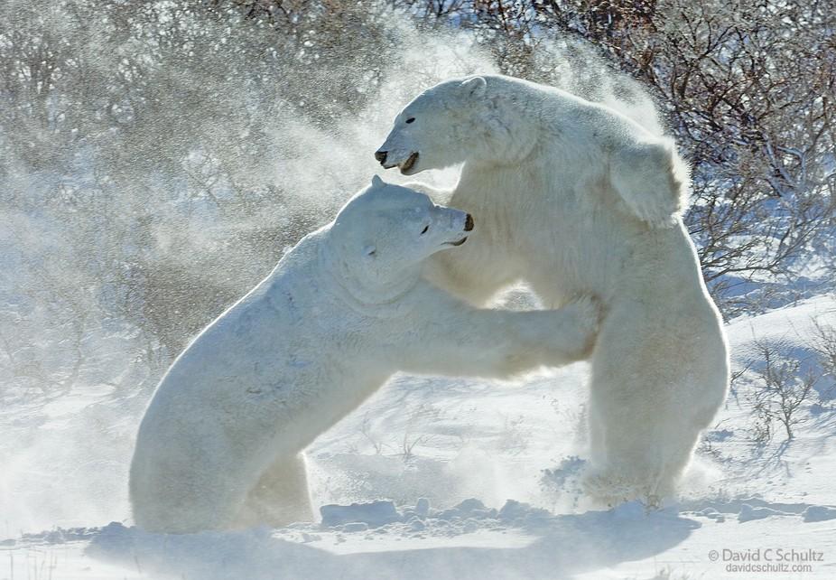 جفتري خرس قطبي خرس قطبي در پمپ بنزين   عکس