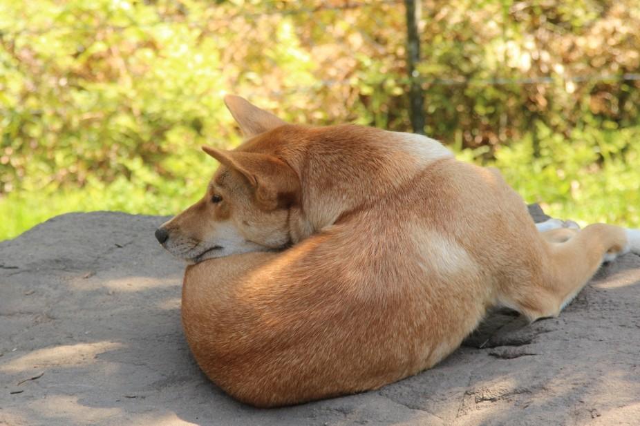 Australian native Dingo