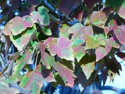 Maple Leaves Start to Turn