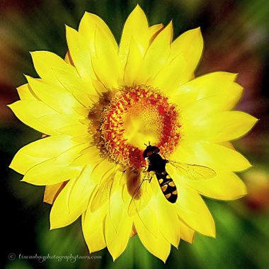 Paper Daisy & Hover Fly
