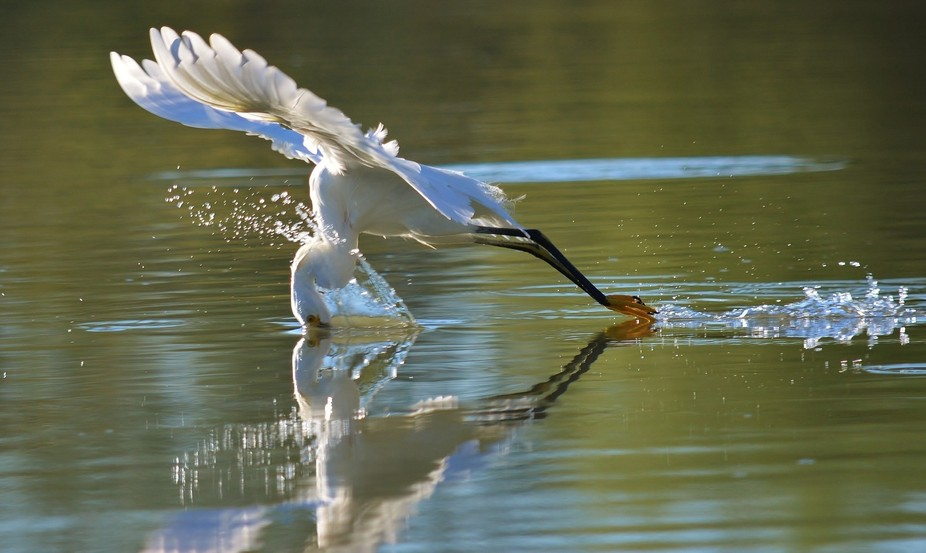 Amazed I got this shot of a snowy egret diving for food