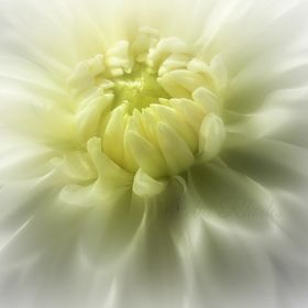 I shoot a lot of macro flowers, and dahlias are an enduring favorite.