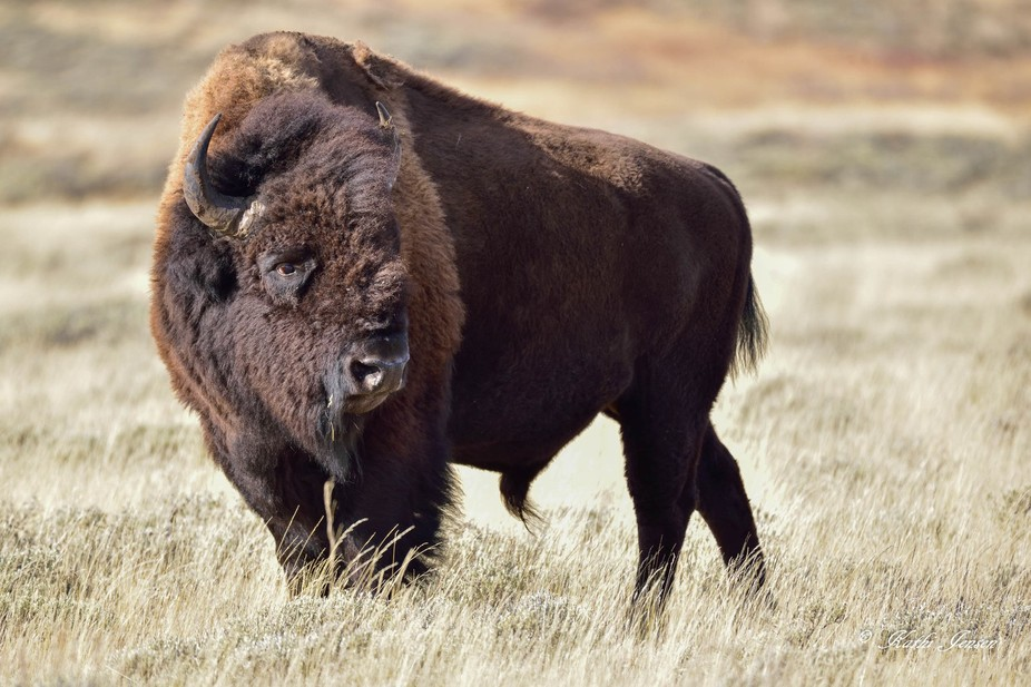 This bison was part of a small herd roaming across the flats of sage and grasses in very late Aut...