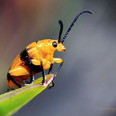 Dendrobium Beetle