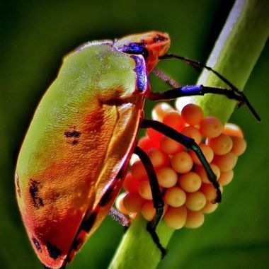 Harlequin Bug with eggs