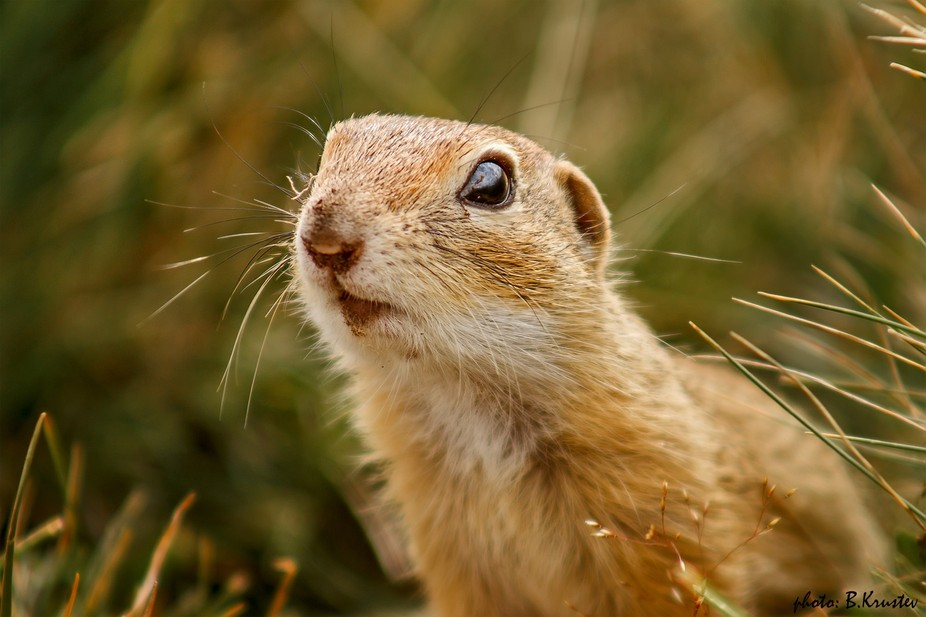 """Ground squirrel, """"Rila"""" National Park in Bulgaria Member of the squirrel family..."""
