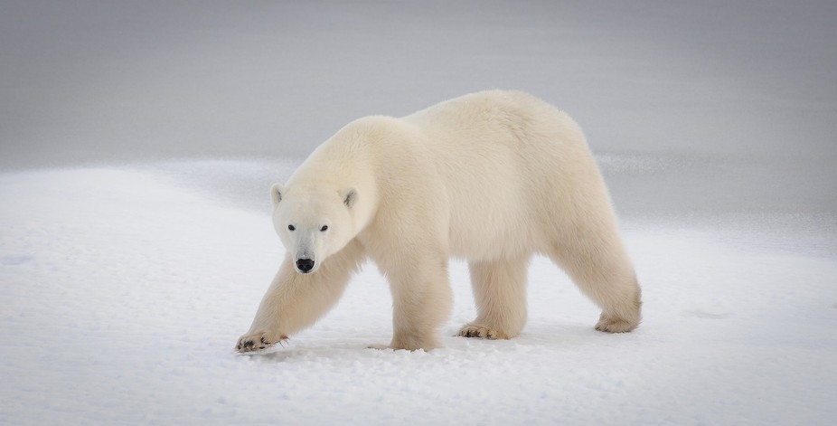 This is a female polar bear who had 2 cubs with her. She was waiting by Hudson Bay near the tiny ...