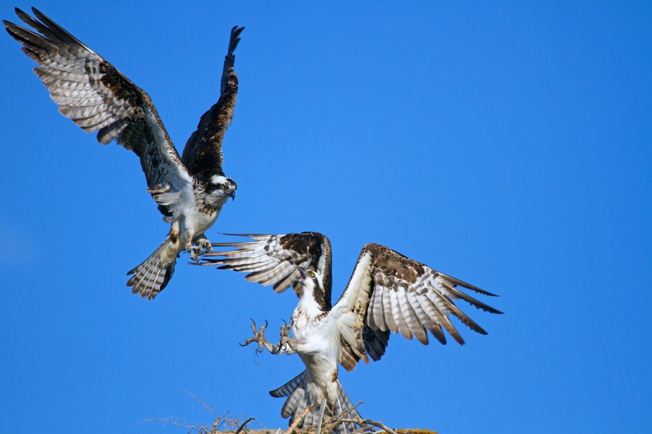 Picture taken May 8th, 2014. An osprey tried to invade this nest while the male was away fishing,...