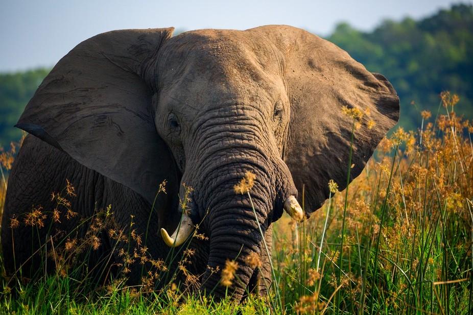 On Safari in Uganda, Africa at Murchison Falls National Park.