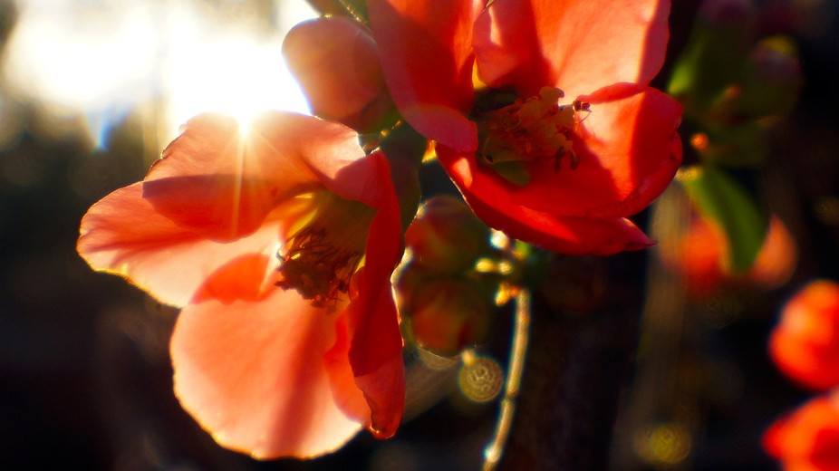 Japanese Flowering Quince with Sunlit Backdrop