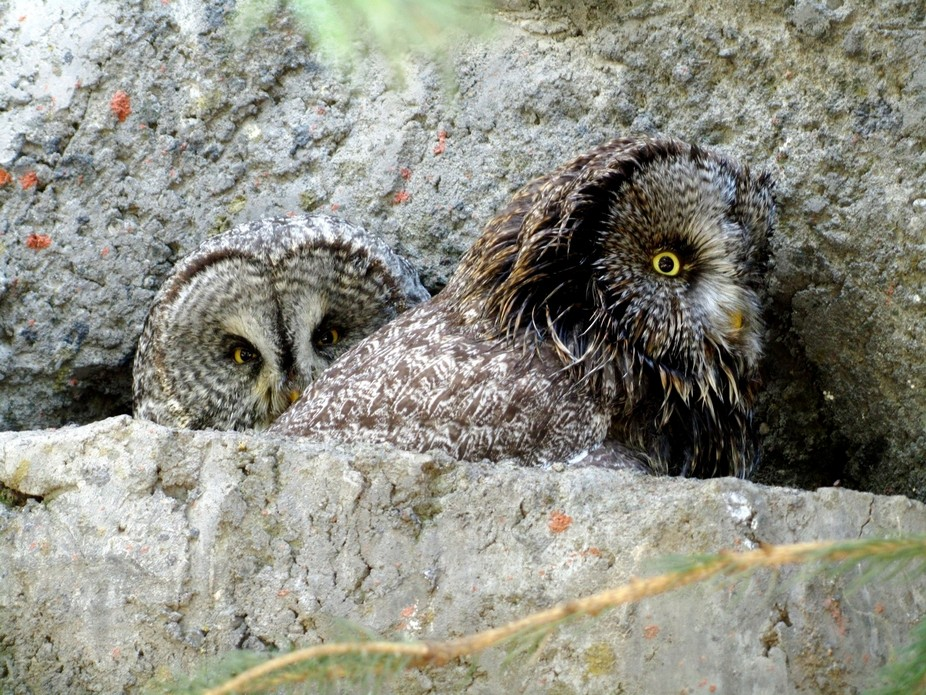 Owls nesting in cliff
