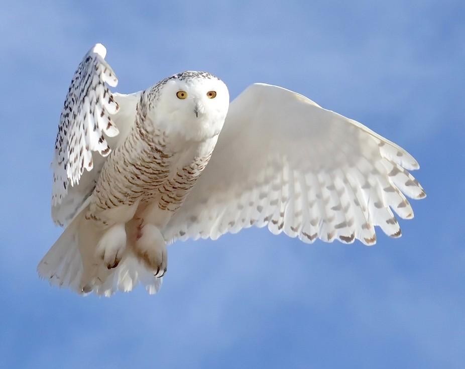 The Majestic Snowy Owl