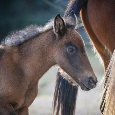 Young Salt River Horse staying very close to mom