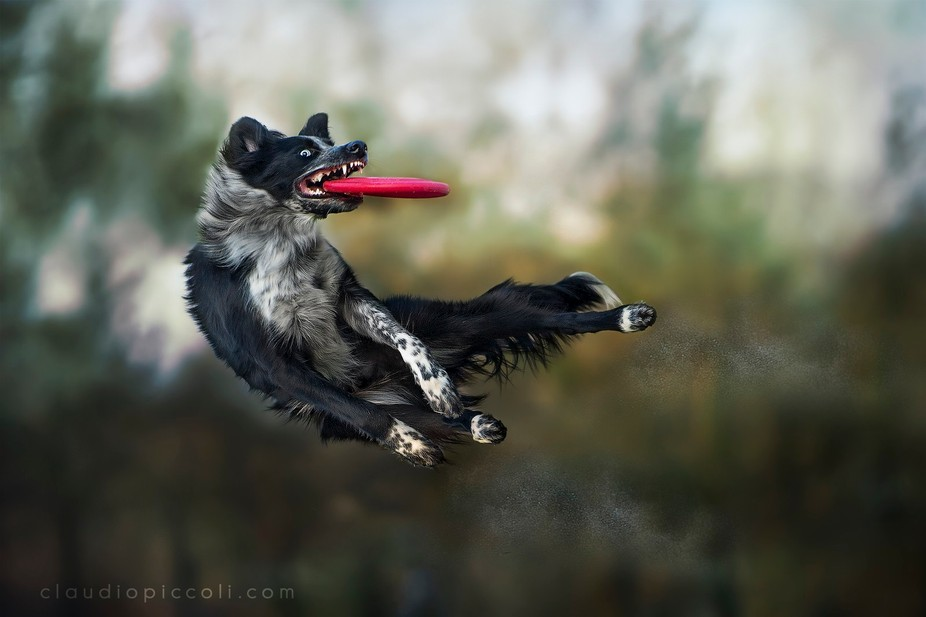 Catch in the dark by a Border Collie during a disc dog training session