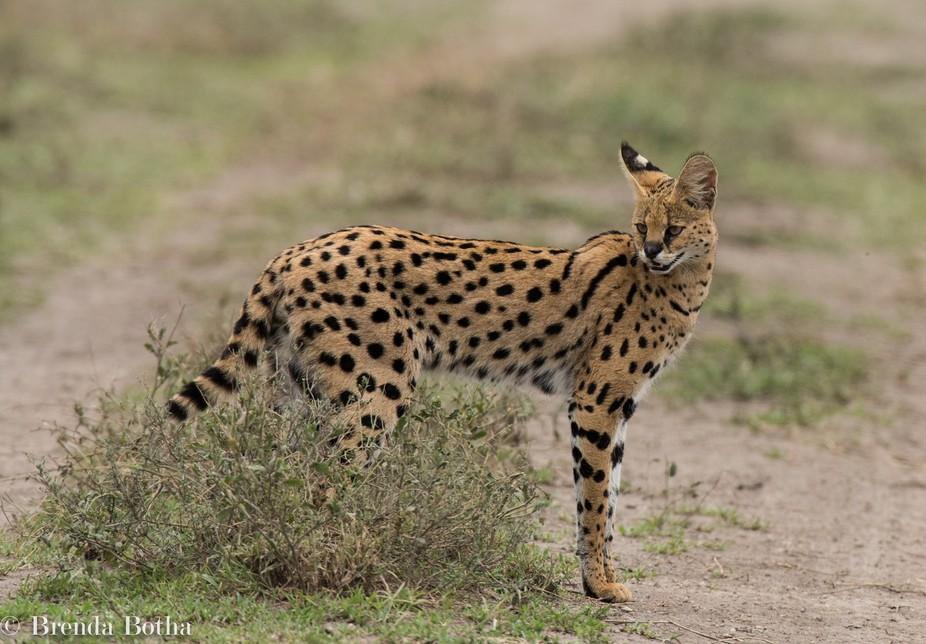 Serengetti Serval cat-4480