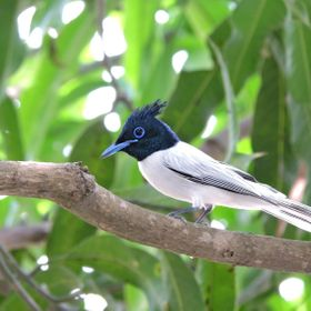 "Indian paradise flycatcher. ""View from my Window""!"