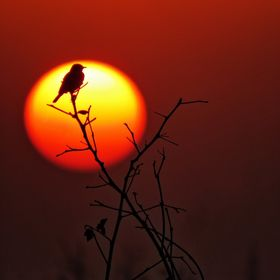 I am in search of some beautiful sunset shots. I found that one bird is perched on plant and i can manage the sun to setting behind the perched b...