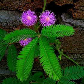 Touch_Me_Not (Mimosa pudica). Wonder of mother nature. Always wanted one in my garden. Beautiful flowers. Just love it! Captured by my camera phone.