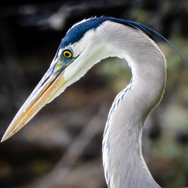 Great Blue Heron in the early morning sunlight