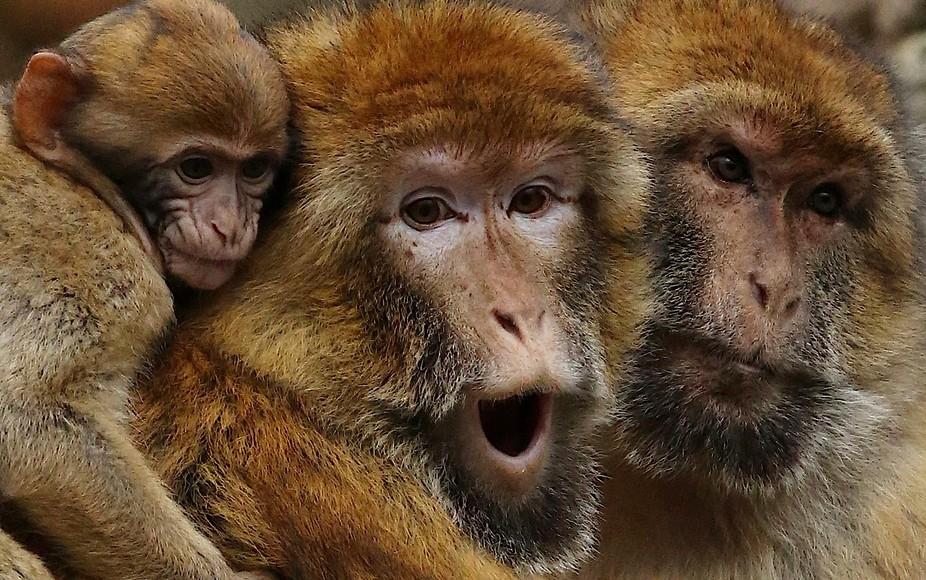 Researchers revealed surprising, off-road behavior of Barbary macaque males co rearing all infant...