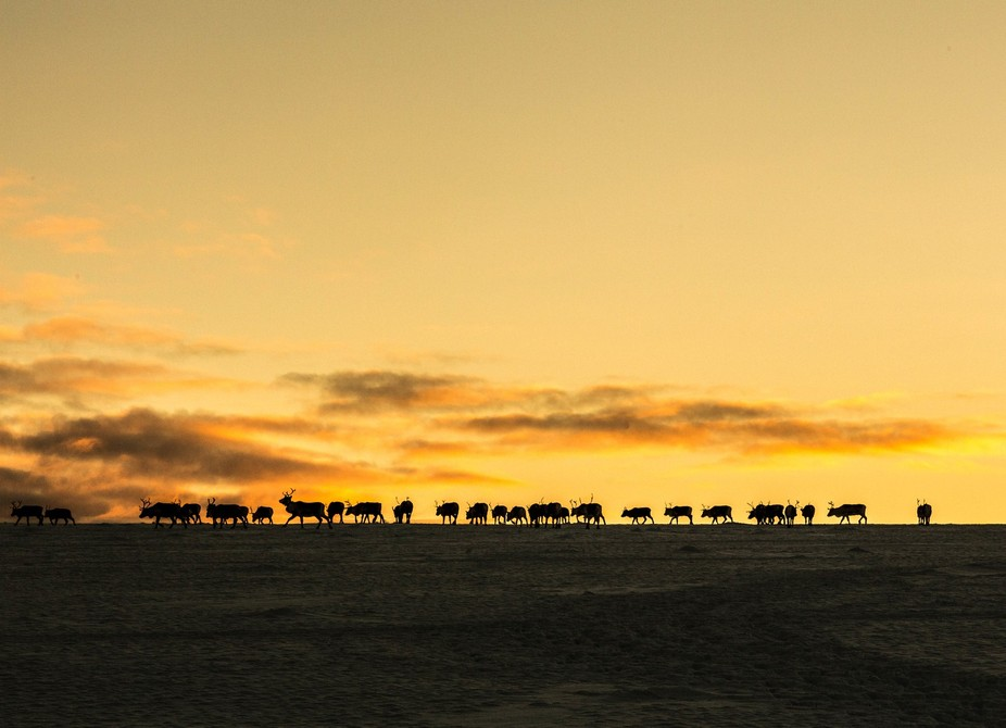 I was searching the Sarek National Park mountain ranges for this small herd of reindeer and take ...