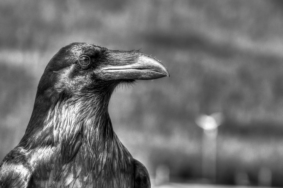 Raven - B&W