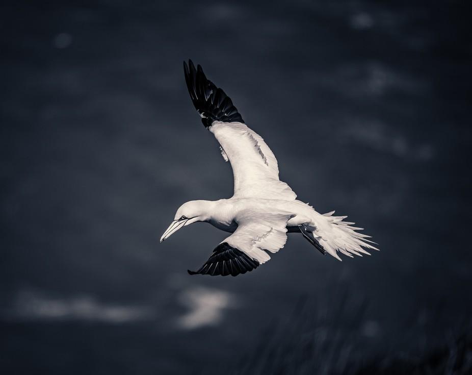 A gannet hovering over the cliffs at RSPB Bempton Cliffs, East Yorkshire