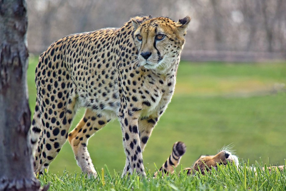 Here is a pair of Cheetahs.  I believe they're mates?