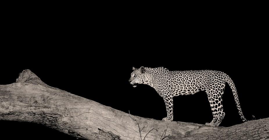 Leopard in Mana Pools, Zambezi Valley, Zimbabwe