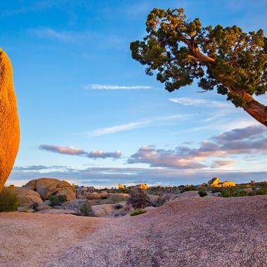 Cool arrangement of a twisted tree and a huge rock in Jumbo Rocks campground at Joshua Tree National Park