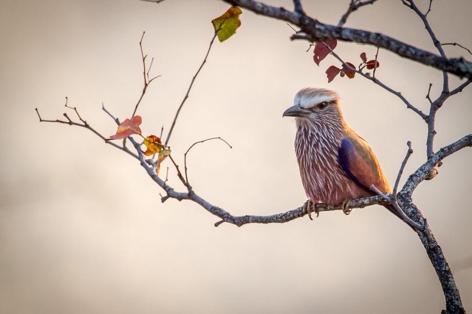 Purple Roller, Kruger National Park, Limpopo South Africa