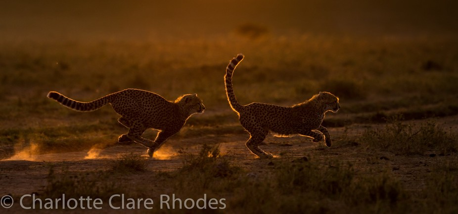 Two cheetah cubs play in the early morning, backlit against the rising sun. Taken in the Olare Mo...